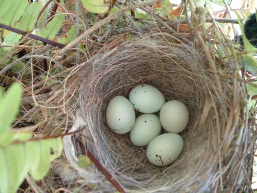 Closeup of finch/dove eggs