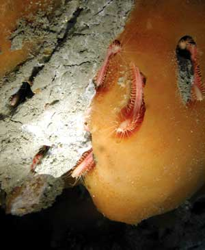 Undersea methane clathrate